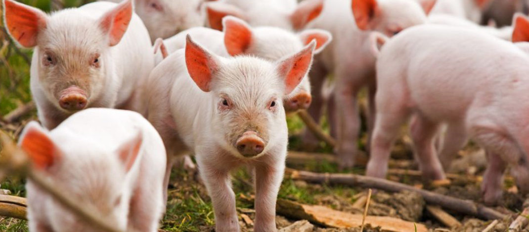 Pesta porcină revine în forță