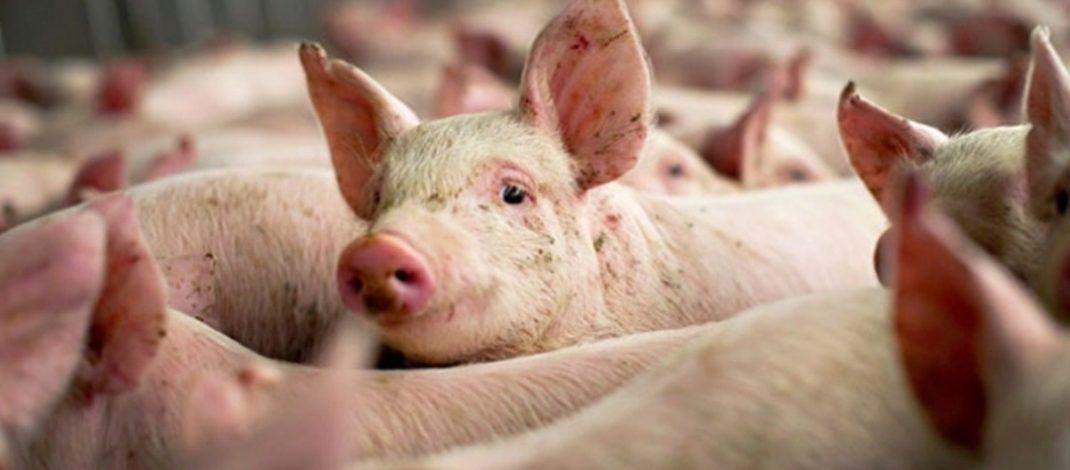 Noi cazuri de pestă porcină în județul Galați. Zeci de animale au fost sacrificate