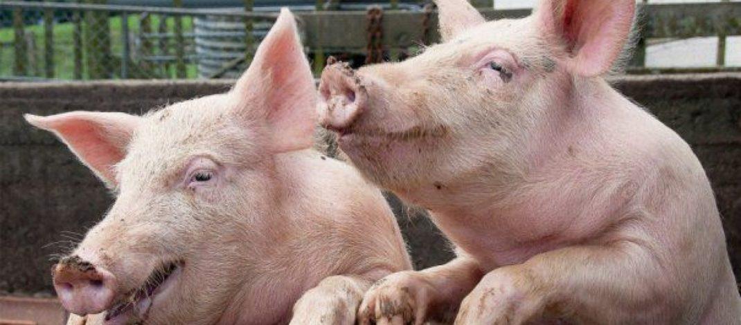 Pesta porcină calcă totul în picioare. Alte două localități din județul Galați rămân fără porci